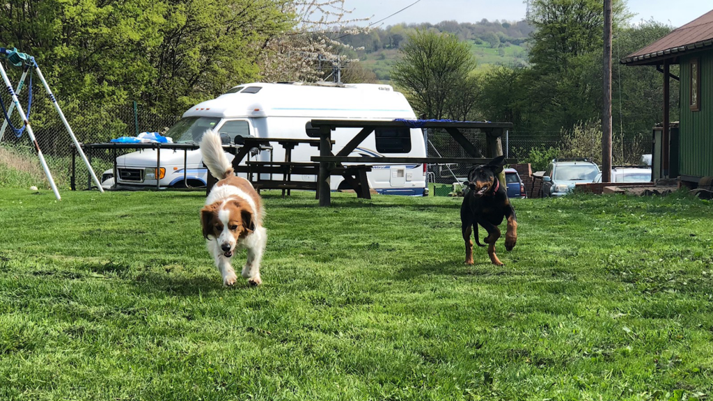 Dogs playing at Rotherham and Sheffield Canal Association